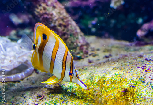 Valokuvatapetti copperband butterfly fish in closeup, colorful tropical fish specie from the pac