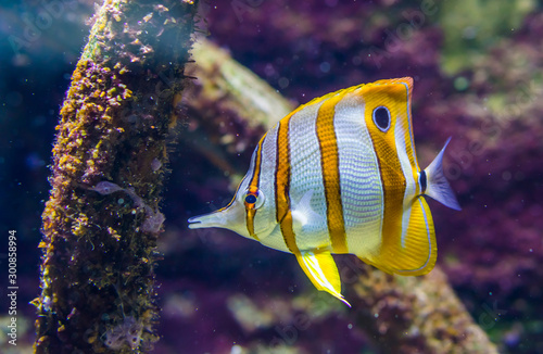 copperband butterfly fish, tropical and colorful fish specie from the pacific oc Canvas-taulu