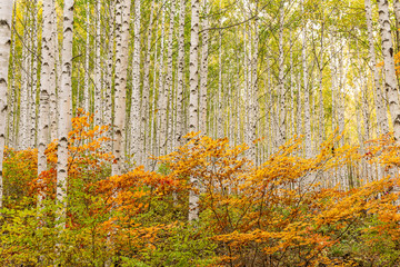 Fototapeta Do sypialni A grove of birch trees with autumn foliage