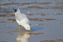 Ring-billed Gull Drinking From Beach Puddle