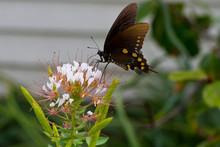 Pipevine Swallowtail, Battus P...