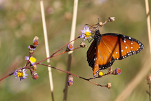 Queen Butterfly, Danaus Gillipus