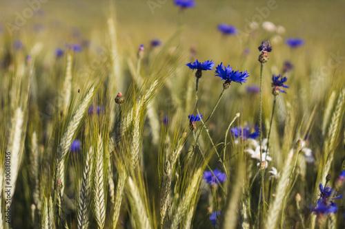 Pinturas sobre lienzo  blue cornflower flowers in a grain field - close up view of ears of corn Tritica