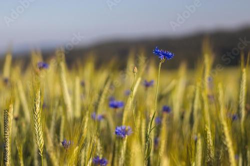 Fotografía  blue cornflower flowers in a grain field - close up view of ears of corn Tritica