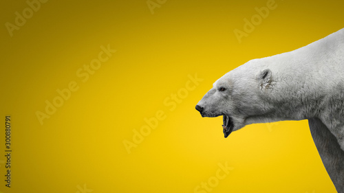 Aggressive big polar bear with open mouth isolated at gradient yellow background, adult, male, details, closeup with paste space