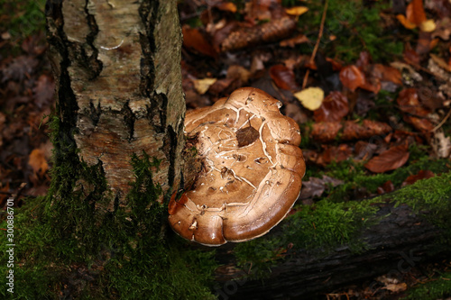 Fototapeta  Fomitopsis betulina - previously Piptoporus betulinus, known as the birch polypo