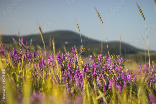 Fotografía  purple and pink flowers of Vicia plant in corn field, landscape with hills in ba