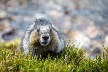 Hoary Marmot In Alberta Canada