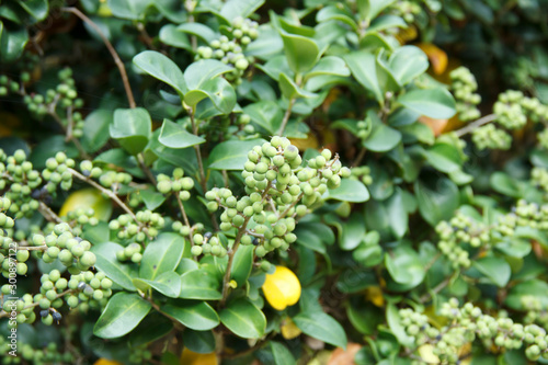 Fotografia Commiphora wightii, with common names Indian bdellium-tree or Mukul myrrh tree, is a flowering plant in the family Burseraceae