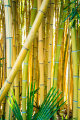 Panel Szklany Popularne Bamboo forest. Natural background. bamboo plant