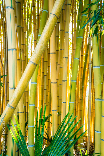 Bamboo forest. Natural background. bamboo plant Wallpaper Mural