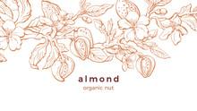 Almond. Vector Background. Nat...
