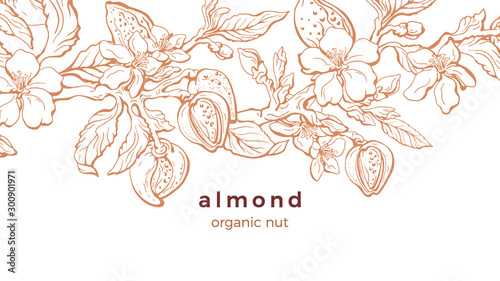 Photo Almond. Vector background. Nature template
