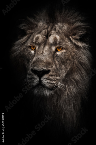 Fototapety, obrazy: Contrast photo of a maned (, hair) powerful male lion in night darkness with bright orange eyes, isolated on a black background