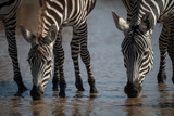 Close-up of plains zebra drinking from stream