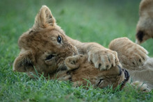 Close-up Of Two Lion Cubs Fighting In Grass