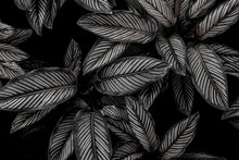 Monochrome Leaves Nature  Background, Closeup Leaves Texture, Tropical Leaves