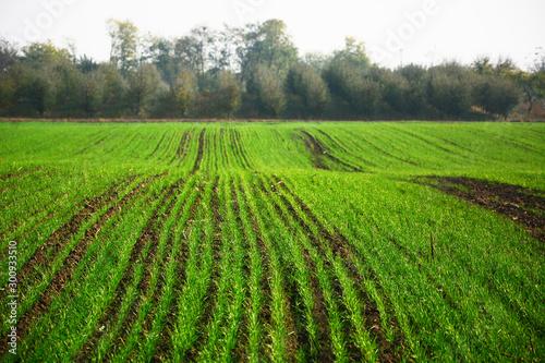 Poster Kaki green rice field in spring