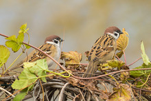 Two Sparrows Passer Montanus Looking For Food On A Hedge Of Climbing Vine.