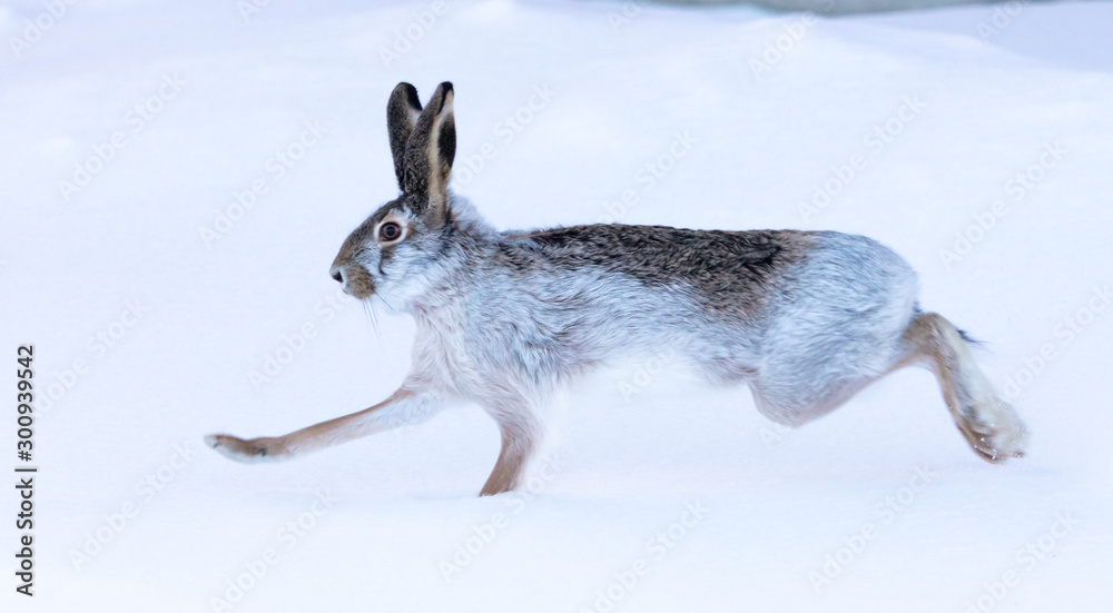 Fototapety, obrazy: Wild hare in the snow
