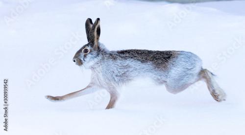 fototapeta na ścianę Wild hare in the snow