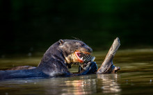 Giant Otter Eats Fish In Water...
