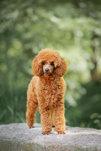 Red Poodle Puppy In The Park