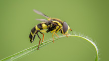Black And Yellow Striped Bee O...