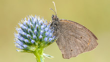Gray Butterfly Perch On Blue P...