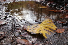 A Yellow Leaf At The Edge Of The Puddle In The Forest In November