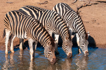 Zebra Standing In Water Drinki...