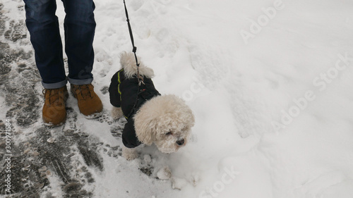 The Owner and Small White Bichon Frise dog in Winter Jacket. Canvas-taulu