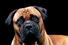 A Full Adult Male Boerboel Dog...