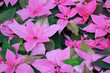 Leinwandbild Motiv Bright pink poinsettia flowers, otherwise called Christmas star, with dark green leaves. In large quantity as pink background