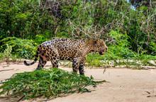 Jaguar Is Walking Along The Sa...