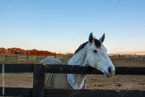 A dappled gray horse with it's head over a board fence and pastures and fall trees in the background.