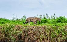 Jaguar Walks Along The Grass A...