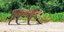 Jaguar Is Walking Along The Sa...
