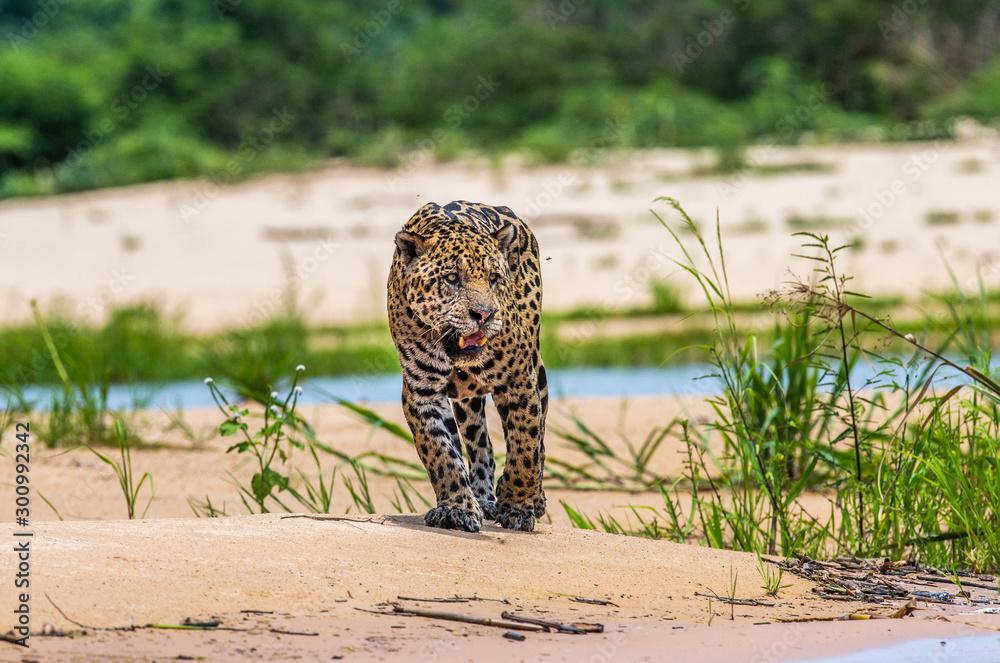 Fototapeta Jaguar is walking along the sand against the backdrop of beautiful nature. South America. Brazil. Pantanal National Park.