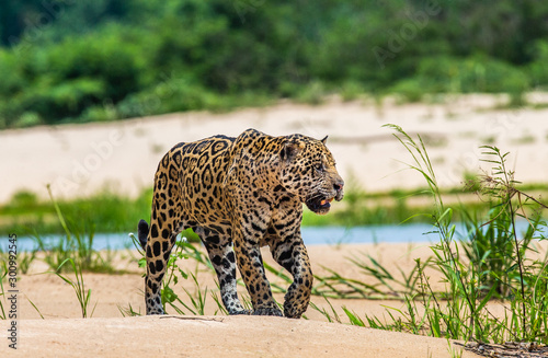 Jaguar is walking along the sand against the backdrop of beautiful nature Wallpaper Mural