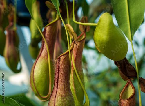 Cuadros en Lienzo  食虫植物のウツボカズラ