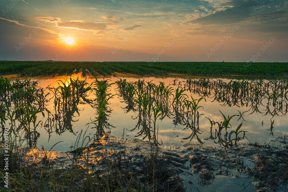 Fototapety, obrazy: Flooded young corn field plantation with damaged crops in sunset