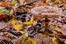 Macrolepiota Excoriata. Mushroom Umbrella In The Autumn Forest. Edible Mushrooms. Close-up