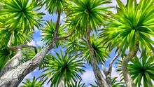 Cabbage Palm Tree (Sabal Palme...