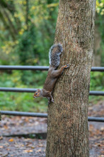 An Adult Grey Squirrel Climbing Down A Tree