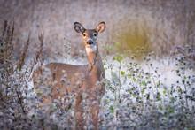 Whitetail Doe In Field On Frosty Morning
