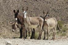 Wild Burros, Silvercreek Road, Black Mountains, Mojave County, Oatman, Arizona.
