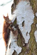 Eichhörnchen Am Birkenstamm B...