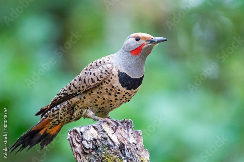 Male red-shafted northern flicker perched on tree stump Wallpaper Mural