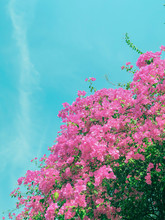 Blooming Magenta Bougainvillea Flower In A Garden.Pink Bougainvillea Flower And Blue Sky Background.